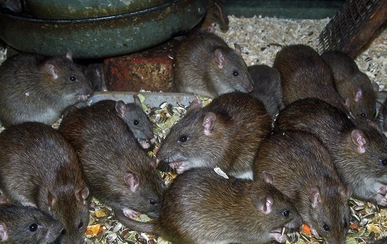 rats eating bird seed