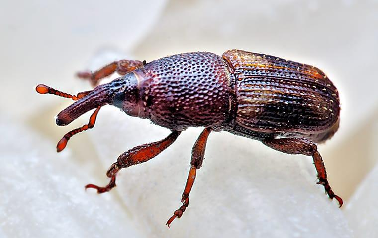 rice weevil up close