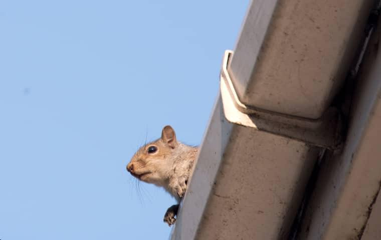squirrel in gutter on nashville home