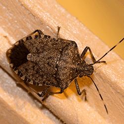 close up of a stink bug