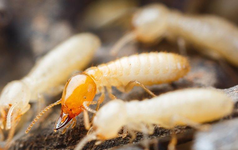 termites on wood