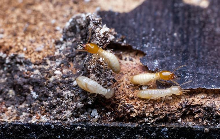 termites in gallatin home