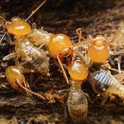 termites in hendersonville