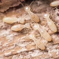 close up on termites in tennessee