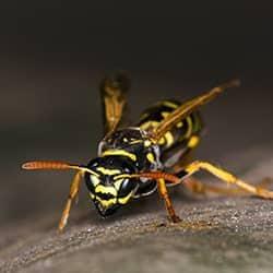 close up of a wasp