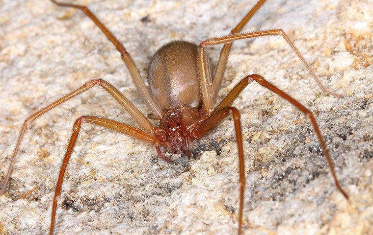 brown recluse spider in basement