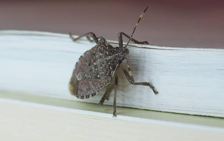 a stink bug on the trim of a nashville home