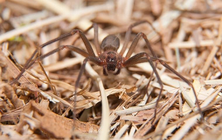 a brown recluse spider in the dead grass of a murfreesboro home