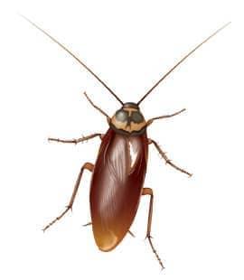 american cockroach in franklin tn