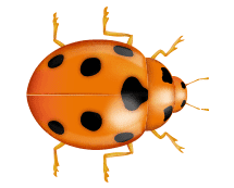 asian lady beetle illustration