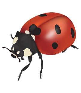 asian lady beetles in franklin tn