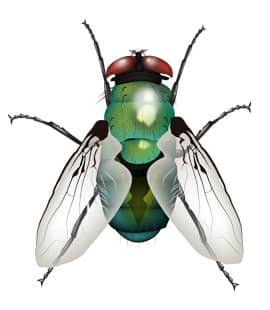 detailed illustration of bottle fly