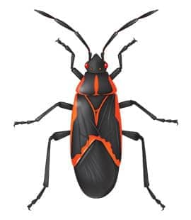 box elder bugs in middle tennessee
