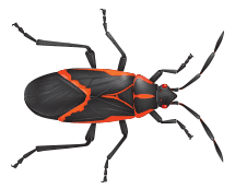 illustration of a box elder bug