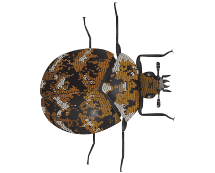 carpet beetles illustration