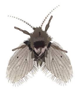 drain fly illustration