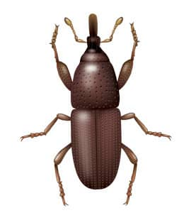 illustration of a granary weevil