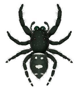 illustration of a jumping spider