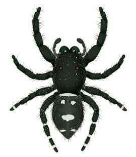 illustration of a jumping spider