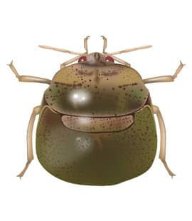 large green kudzu bug