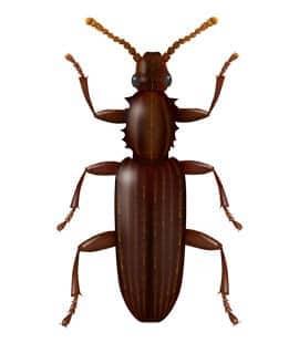 illustration of merchant grain beetle