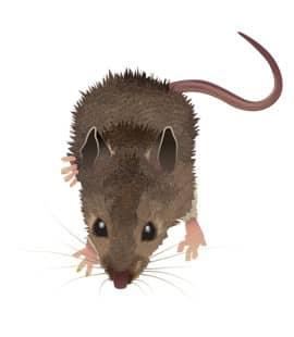 mice in nashville tn