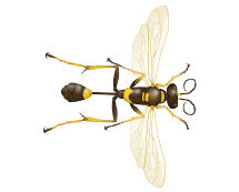 mud dauber illustration