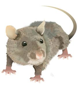 Illustration Of Norway Rat