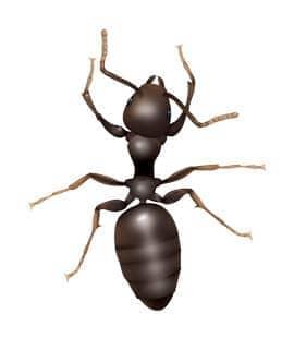 odorous house ant found in hendersonville tn