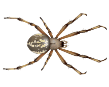 orb spiders illustration