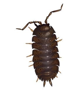 illustration of pill bug