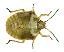 stink bug illustration