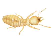 illustration of a termite