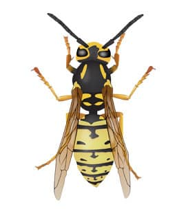 yellow jackets in franklin tennessee
