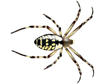 zipper spider illustration