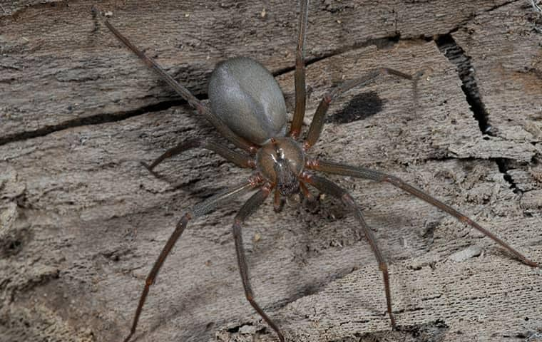 a spider that has found its way into the walls of a tennessee home