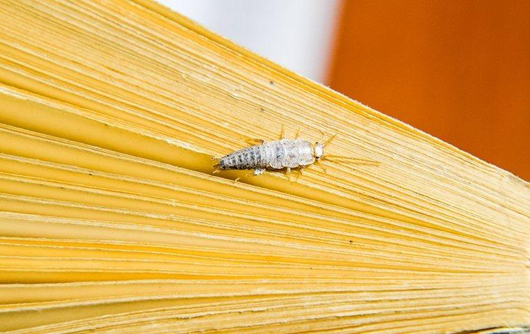 silverfish eating pages in a book