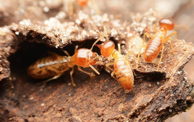 termites destroying a tennessee home