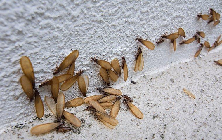 termit swarmers in basement