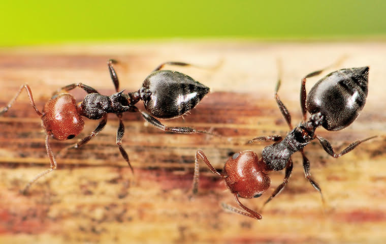 acrobat ants on wooden fence in a home in norfolk virginia