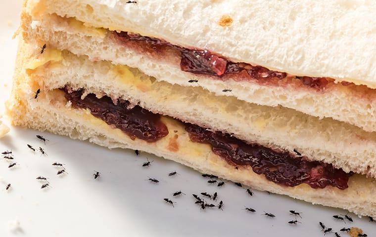 a large colont of black ants pestering a norfold virginia picnic sandwich