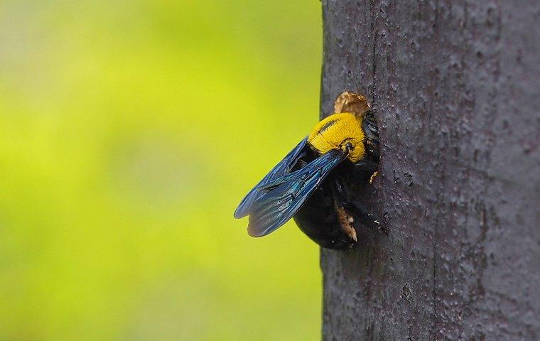 a carpenter bee partly inside a wooden post