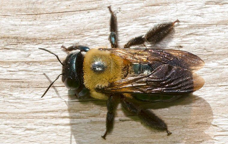 carpenter bee on a wooden table top