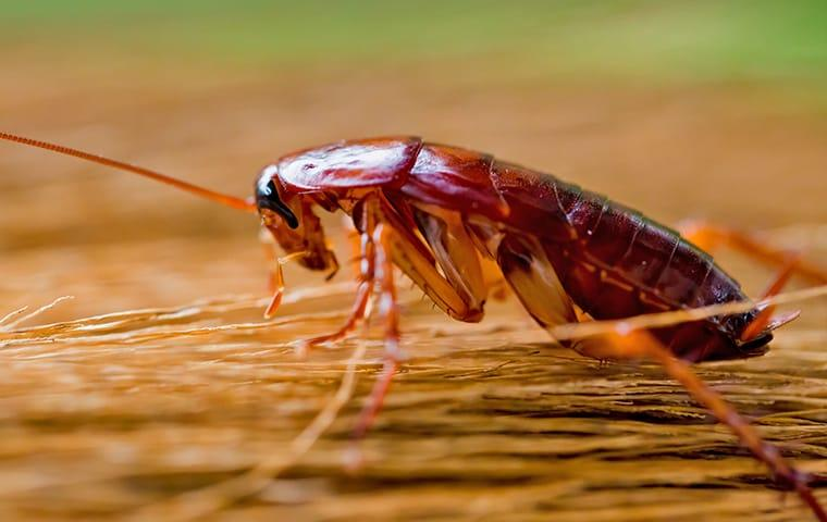 an american cockroach crawling along the wooden kitchen table in a Norfolk virginia home