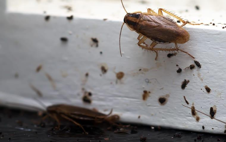 a german cockroach staining a norfold virginia kitchen counter top with fecal matter