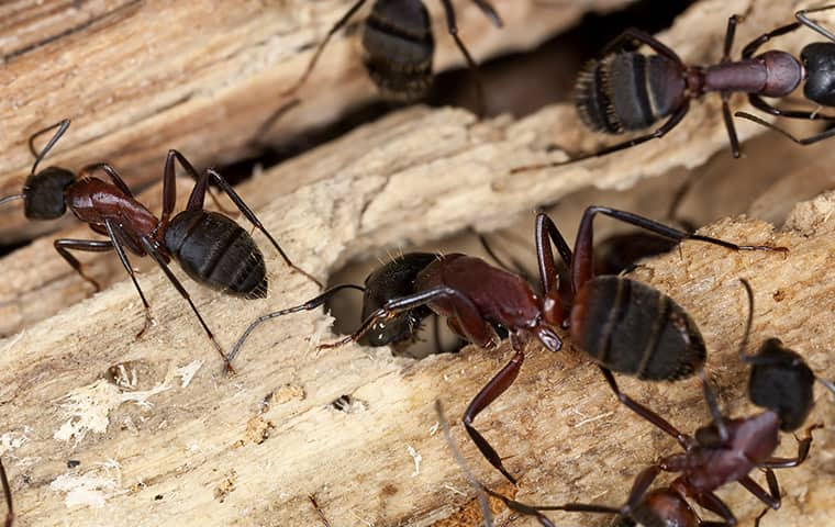 carpenter ants chewing through wood inside of a home in norfolk virginia