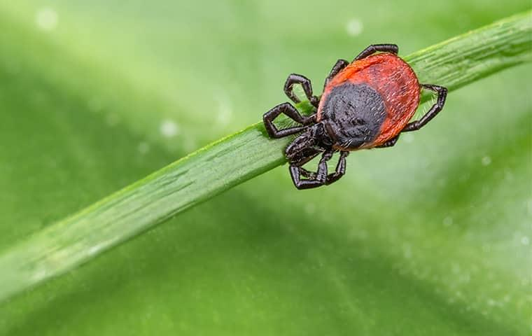 a red deer tick strattling a this green blade of grass as it waits for his nest host to walk by