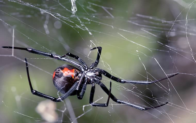 a black widow crawling on a web in kill devil hills north carolina
