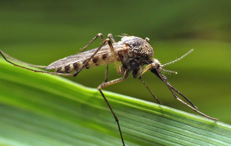 a mosquito that landed on a blade of grass