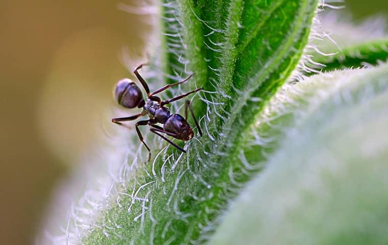 a smal but odorouse house ant crawling along a fuzzy green leaf on an out banks property
